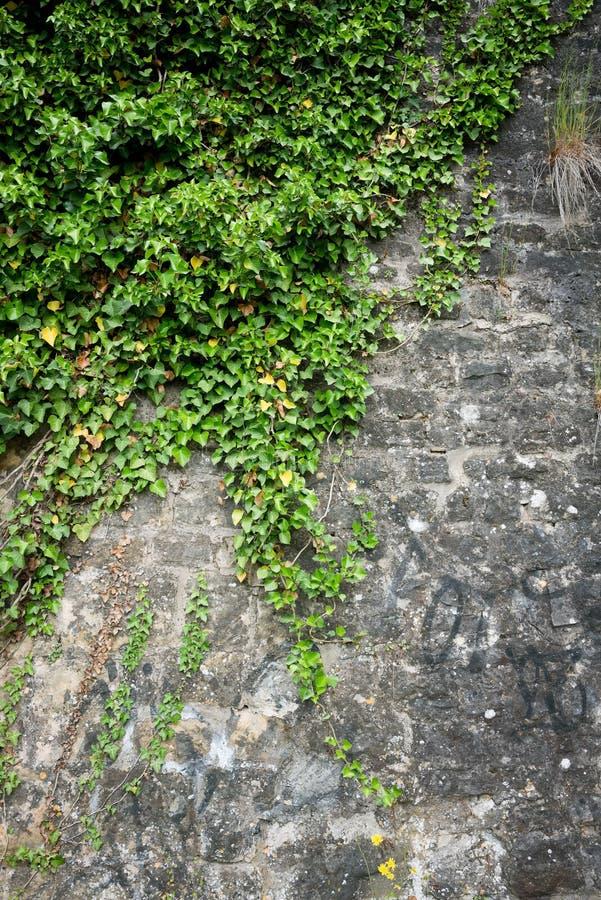 Le lierre vert sur un mur en pierre photo libre de droits