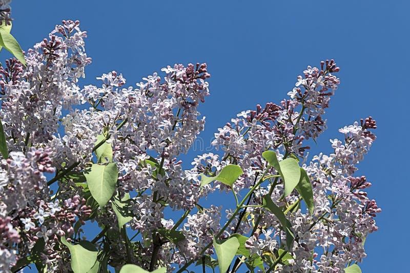 Le lilas a aligné dans une rangée images libres de droits