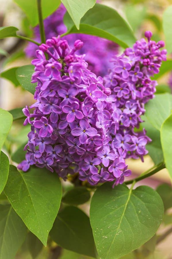 Le lilas commun de floraison (Syringa vulgaris) font du jardinage au printemps photo stock