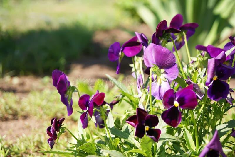 Le lilas fleurit des pens?es image stock