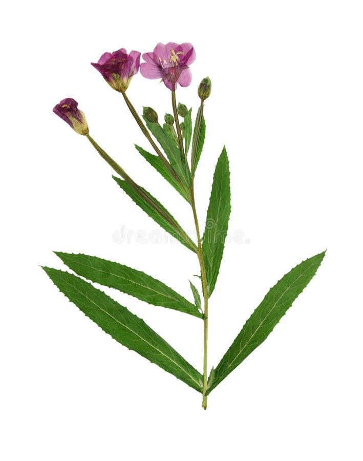Le lilas pressé et sec fleurit l'épilobe D'isolement sur le blanc photo libre de droits