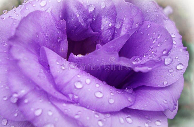 Le lilas s'est levé avec des baisses de rosée images libres de droits