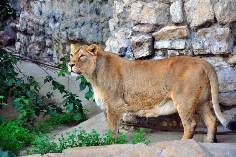 Le lion adulte vit dans une volière équipée image stock
