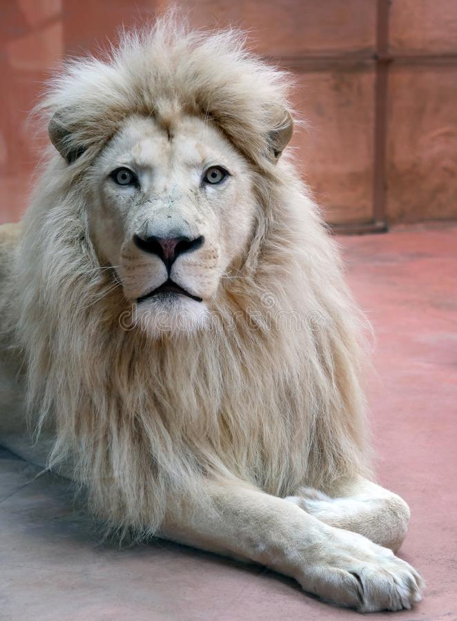 Le lion blanc masculin se situe dans la volière du zoo photos stock