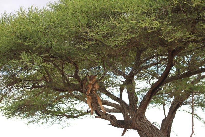 Le lion détendent sur l'arbre image stock