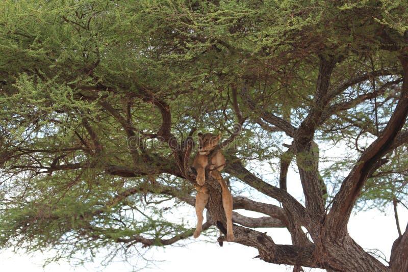 Le lion détendent sur l'arbre photographie stock