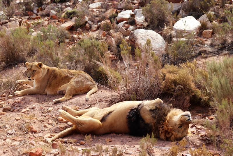 Le lion est le plus grand prédateur terrestre de l'Afrique images libres de droits