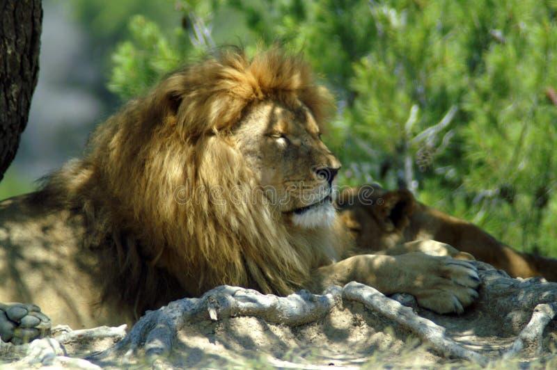 Le lion et la lionne se reposent à la nuance d'un arbre images libres de droits