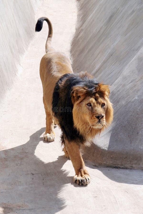 Le lion indien photographie stock