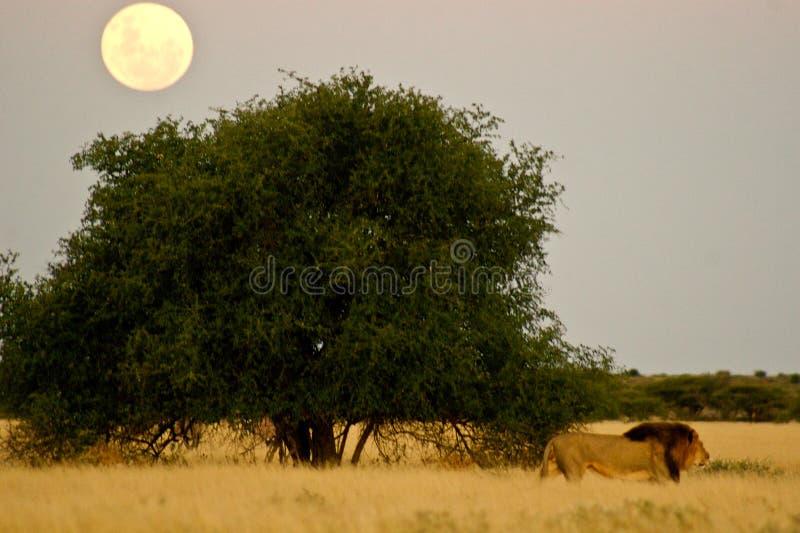 Le lion marche devant la pleine lune photo stock