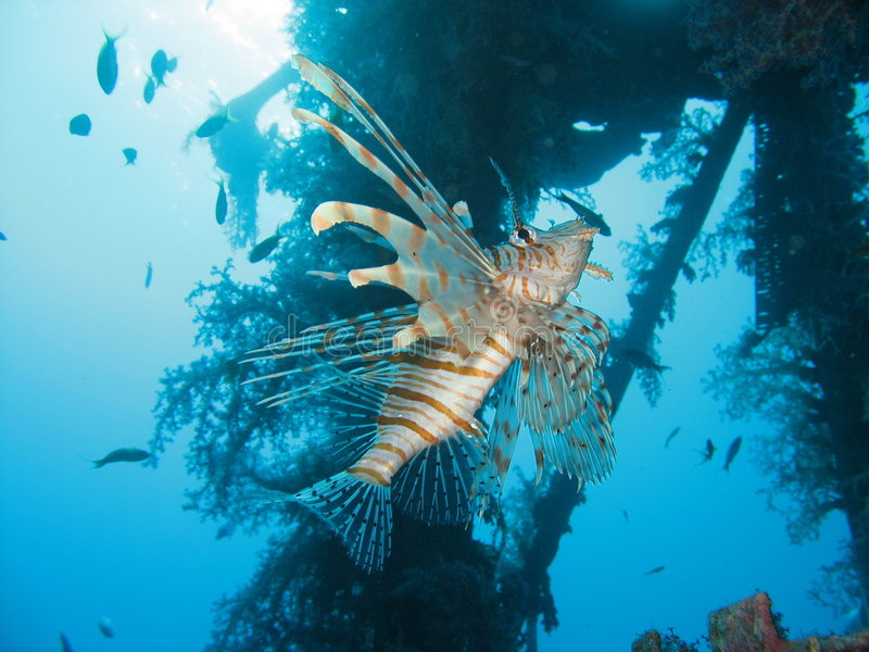 Le Lionfish images libres de droits