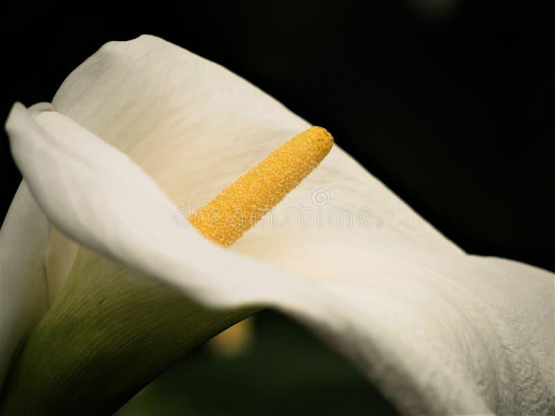 Le lis d'arum de cap, Zantedeschia Aethiopica photographie stock libre de droits