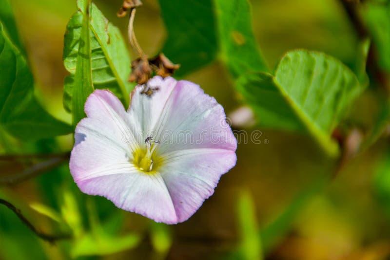 Le liseron de champ d'arvensis de convolvule est des espèces de liseron Il est s'élever image stock