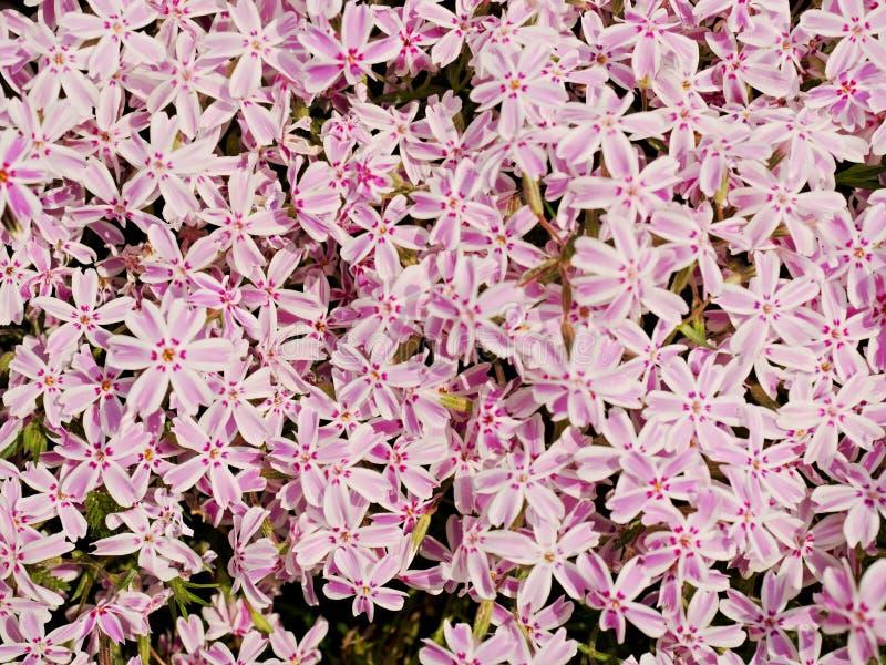 Le lit de fleur alpin avec le phlox blanc rose fleurit le tapis Blanc rose pourpre photo stock