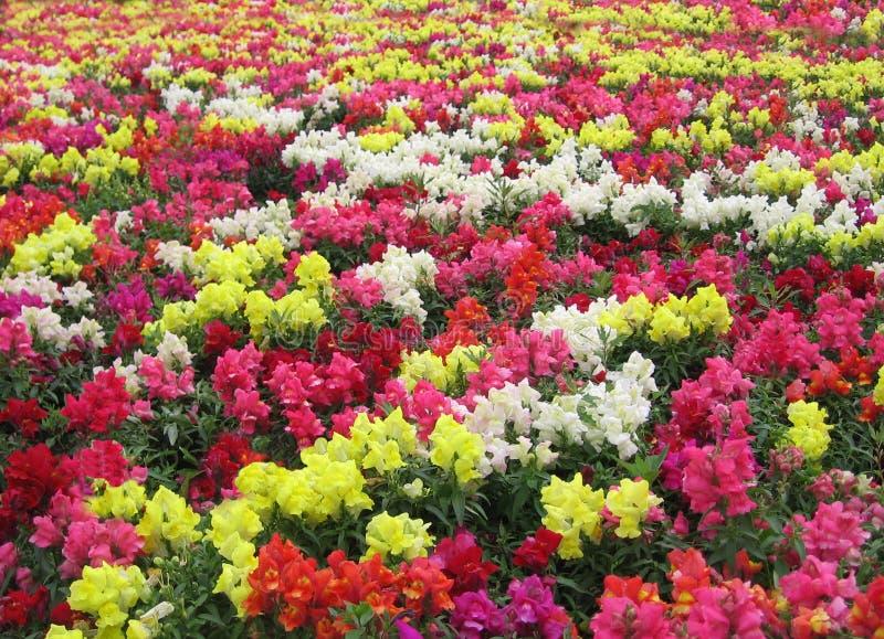 Le lit de fleur avec les fleurs lumineuses et colorées décore le jardin dans un tapis des usines de floraison photo stock