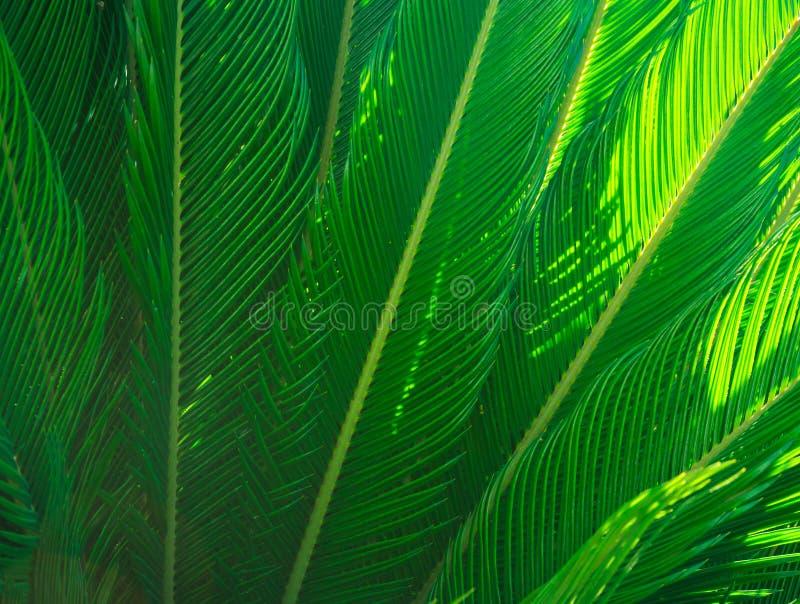 Le long palmier en épi part dans le beau modèle géométrique, flou, faisceaux de lumière du soleil, botaniques, feuillage, fond tr photographie stock libre de droits