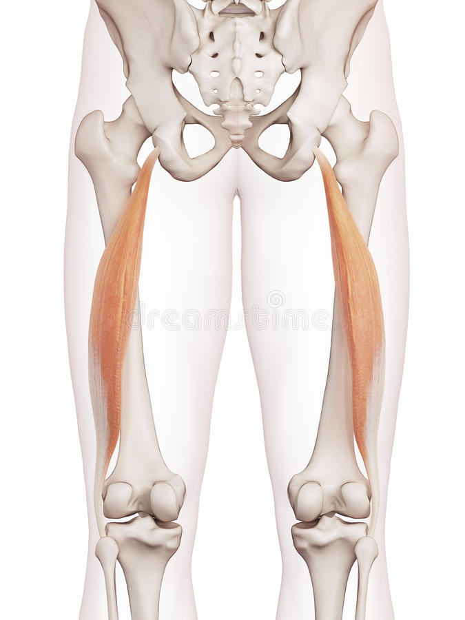 Le longus femoris de biceps illustration libre de droits