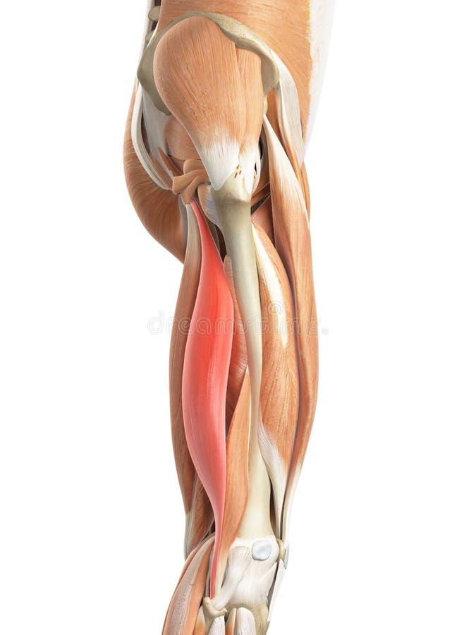 Le longus femoris de biceps illustration stock