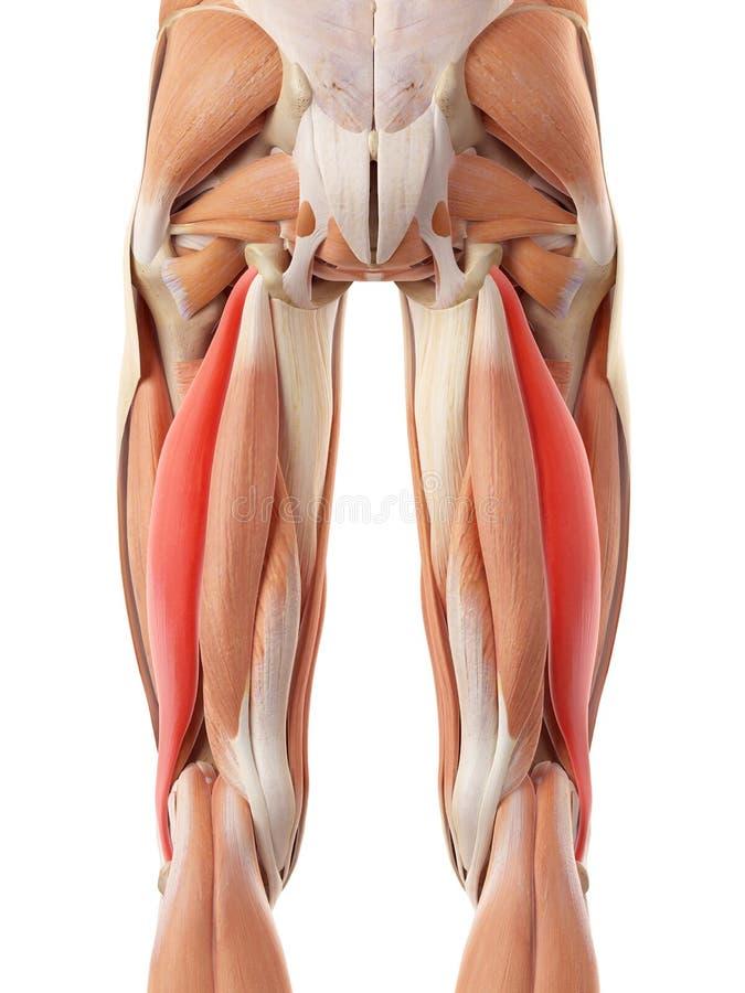 Le longus femoris de biceps illustration de vecteur