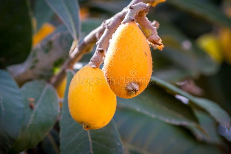 le loquat ou le cognassier du japon d 39 eriobotrya avec les fruits jaunes prune japonaise image. Black Bedroom Furniture Sets. Home Design Ideas