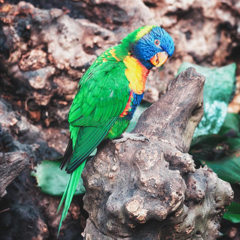 Le lorikeet Coconut dans la forêt tropicale dans le parc couvert le Hoeve Orchideeën photos libres de droits