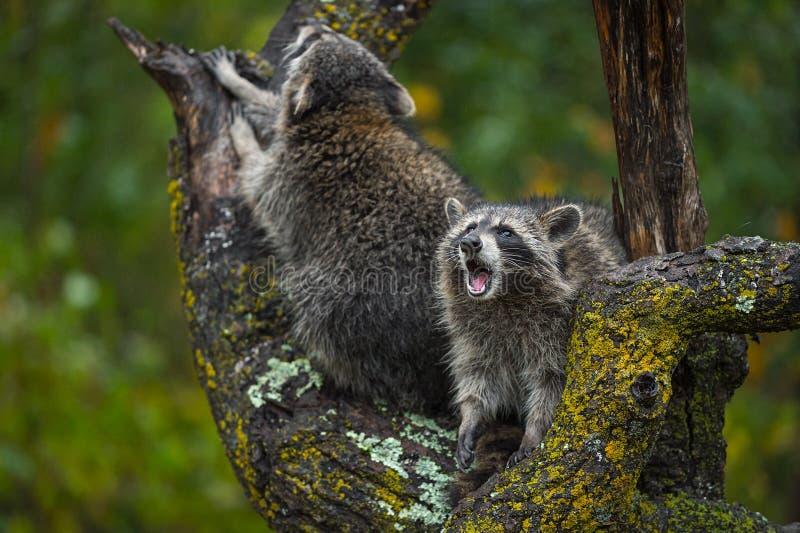 Le lotor de Procyon de ratons laveurs pleure de l'arbre en automne de pluie images libres de droits