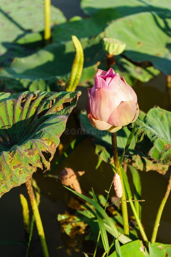 Le lotus beau sont rare image libre de droits
