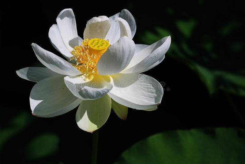 Le lotus blanc photos libres de droits