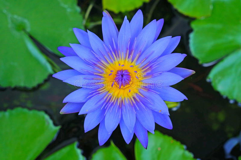 Le lotus bleu photo libre de droits