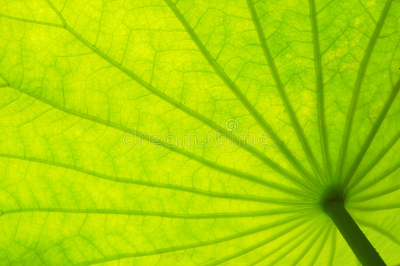 Le lotus vert part du fond de texture photographie stock libre de droits