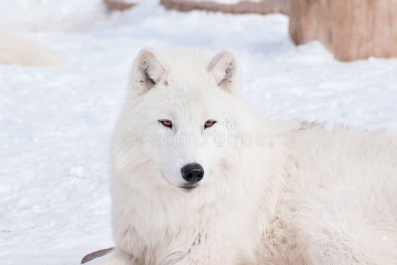 Le loup arctique sauvage se trouve sur la neige blanche Animaux dans la faune Arctos de lupus de Canis images libres de droits