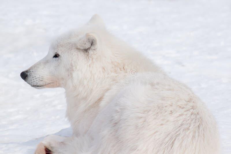 Le loup arctique sauvage se trouve sur la neige blanche Fin vers le haut Animaux dans la faune Arctos de lupus de Canis photos stock