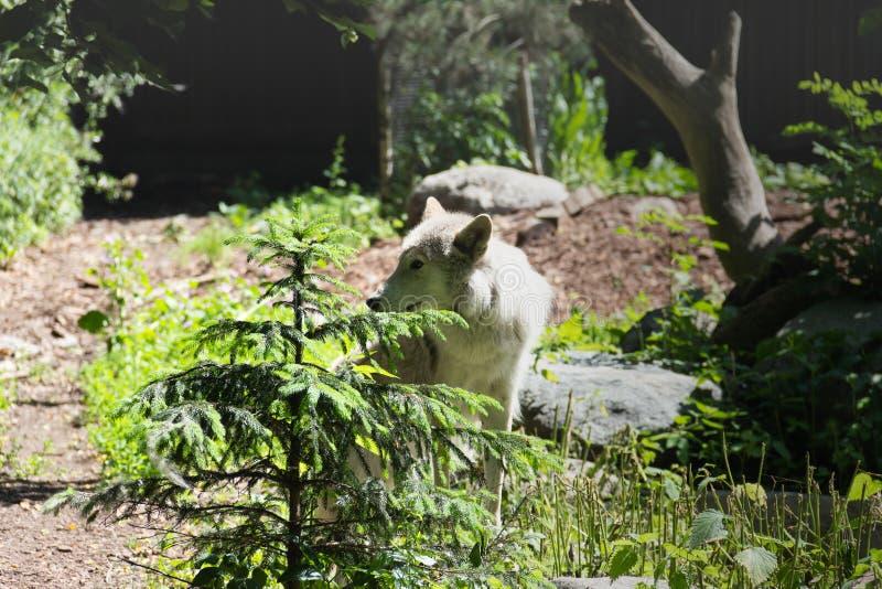 Le loup blanc est venu au bord photo stock