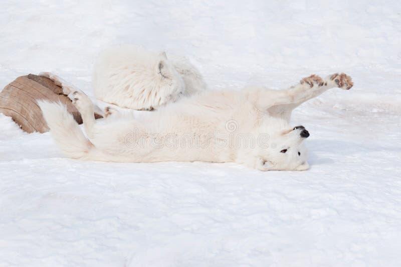 Le loup d'Alaska sauvage de toundra se dore dans le soleil d'hiver Arctos de lupus de Canis image stock