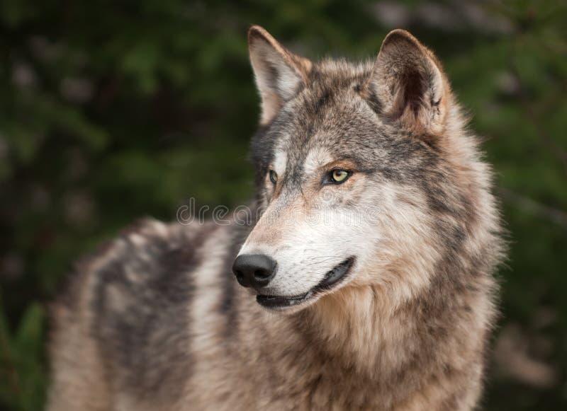 Le loup de bois de construction (lupus de Canis) regarde à gauche image libre de droits