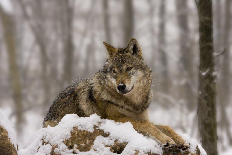 Le loup européen aiment un diorama image stock