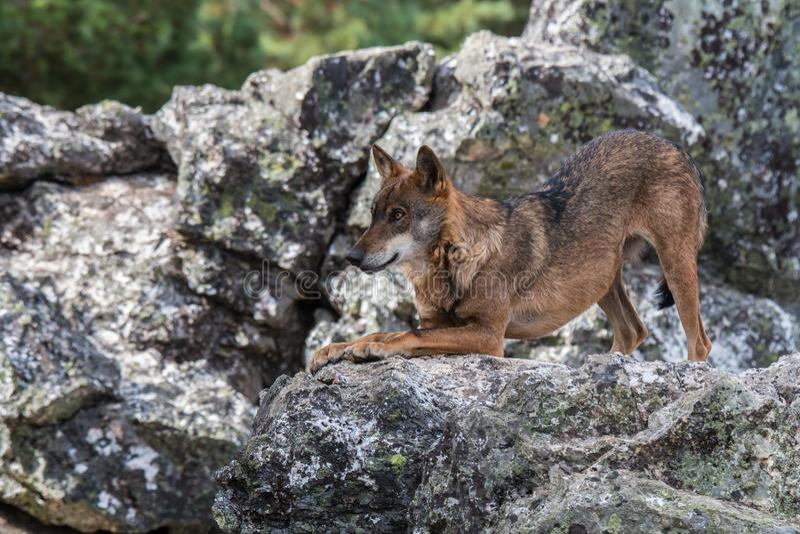 Le loup ibérien photo stock