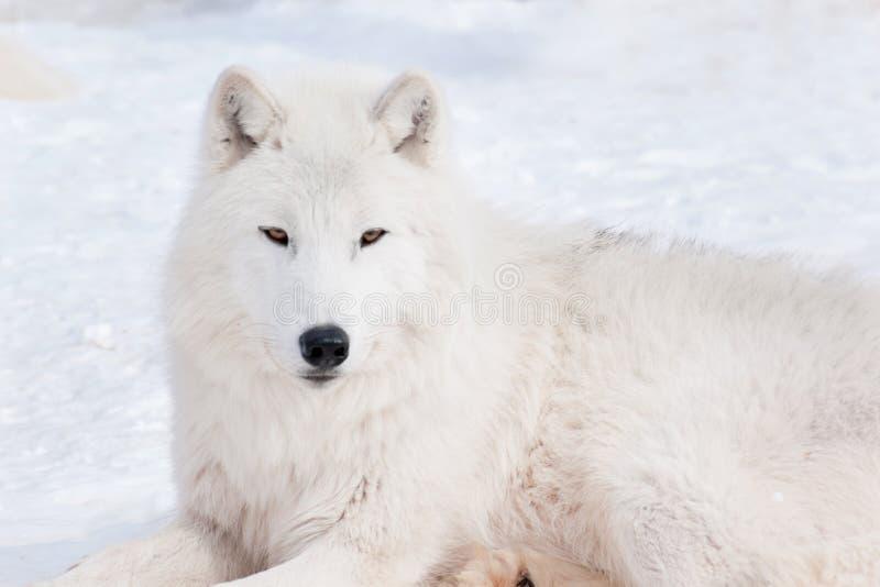 Le loup polaire sauvage regarde dans l'appareil-photo Loup arctique ou loup blanc Animaux dans la faune images stock