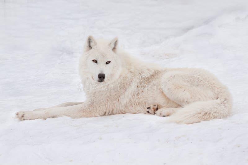 Le loup polaire sauvage se trouve sur la neige blanche Loup arctique ou loup blanc Animaux dans la faune photos stock