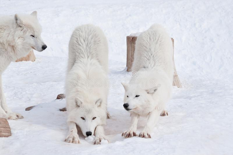Le loup trois arctique sauvage jouent sur la neige blanche Animaux dans la faune Arctos de lupus de Canis photo stock