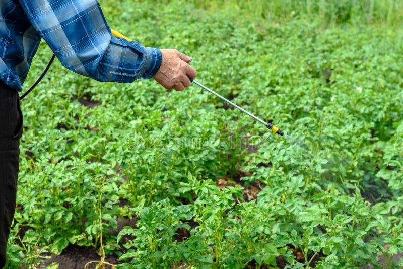 Le mâle adulte traite des pesticides buissons verts de pomme de terre de doryphores de jeunes images libres de droits