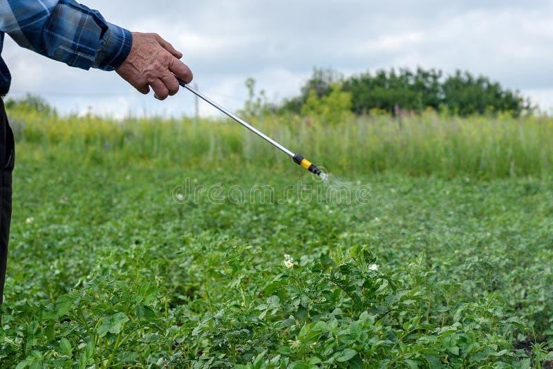 Le mâle adulte traite des pesticides buissons verts de pomme de terre de doryphores de jeunes photo libre de droits