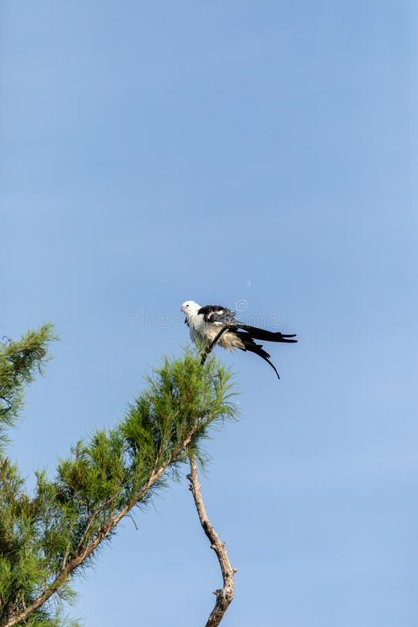 Le mâle blanc et gris hirondelle-a coupé la queue le forficatus d'Elanoides de cerf-volant image libre de droits