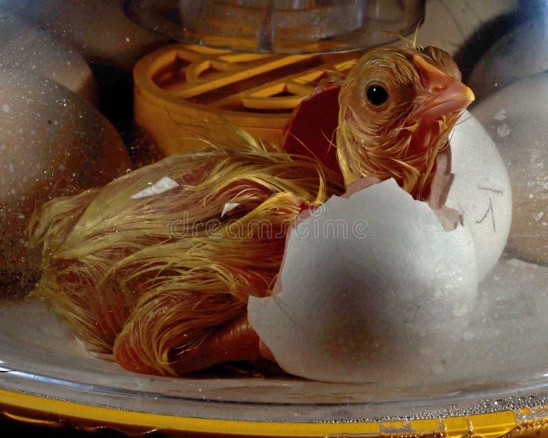 Le mâle de poulet à l'intérieur de l'oeuf fait le trou et est sur ma sortie photos stock