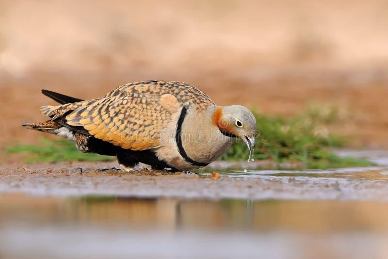 Le mâle des orientalis Noir-gonflés de Pterocles de ganga se reposant à côté de la piscine de désert pour boire l'eau de la pisci image libre de droits