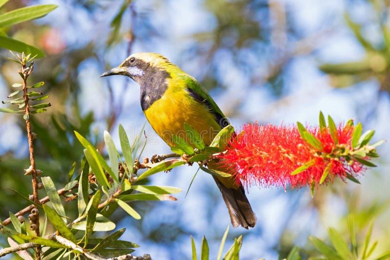 Le mâle Orange-s'est gonflé l'oiseau de Leafbird sur la fleur de brosse de bouteille à la colline de Fraser, Malaisie, Asie photos stock