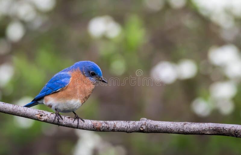 Le mâle oriental d'oiseau bleu était perché avec la pièce verte simple de fond de bokeh pour le texte image stock