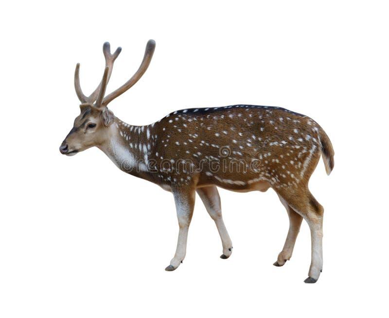 Le mâle a repéré des cerfs communs d'isolement sur le fond blanc avec le chemin de coupure photos stock
