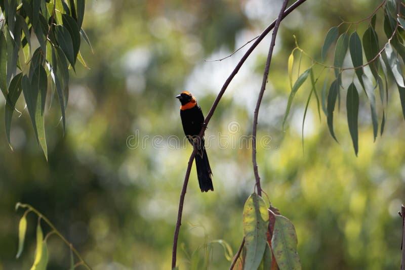 Le mâle rouge-a colleté des ardens d'Euplectes de widowbird photo libre de droits