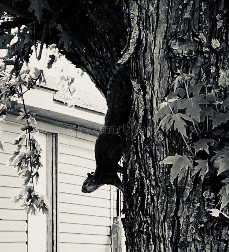 Le même écureuil images libres de droits